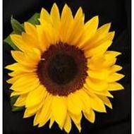 تصاویر بذر آفتابگردان زينتي، پابلند، (شاخه بريده)، زرد