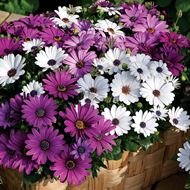 Picture of osteospermum mix seed