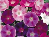 Picture of Ipomoea mix seed