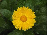 Picture of Calendula officinalis yellow seed