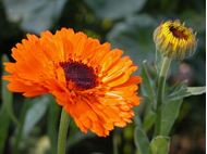 Picture of Calendula officinalis orange seed