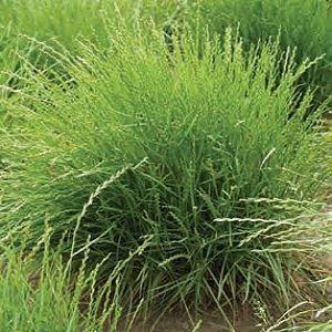 تصاویر بذر چمن ایرانی