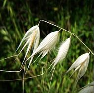 Picture of Oat seeds