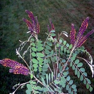 Picture of Amorpha seed