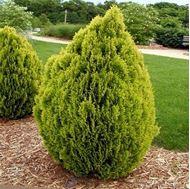 Picture of Oriental Arborvitae seeds