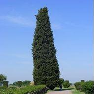 Picture of shiraz cedar seed