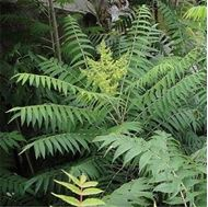 Picture of ailanthus seed