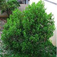Picture of hopbush seeds