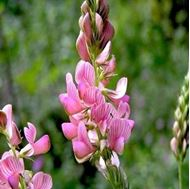 Picture of Sainfoin seed