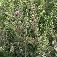 Picture of Salsolato tomentosa seed