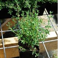 Picture of thymus vulgaris seedling