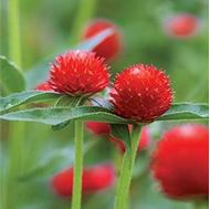 Picture of Red Gomphorena globosa seed