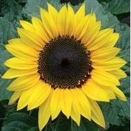 تصاویر بذر آفتابگردان زينتي، پا متوسط، گل درشت زرد