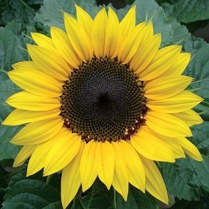 Picture of Helianthus annuus yellow seed