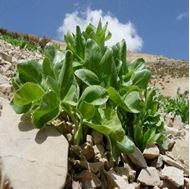 Picture of Mountain celery seeds