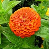 Picture of Tall orange Zinnia elegans seed