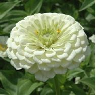Picture of White tall Zinnia elegans seed