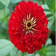 Picture of Red medium Zinnia elegans seed