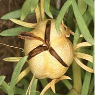 Picture of harmala seed