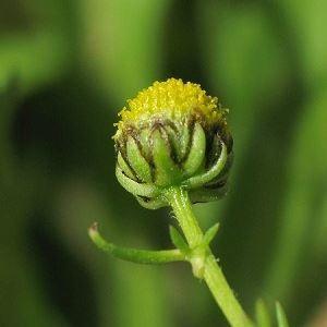 Picture of Matricaria aurea seed