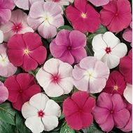 Picture of Mix Madagascar periwinkle seeds