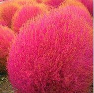 Picture of Kochia scoparia seeds