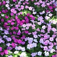 تصاویر بذر گل حنا پا کوتاه