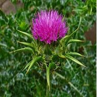Picture of Milk thistle seeds