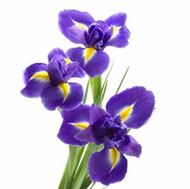 Picture of Iris bulbs