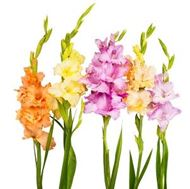 Picture of Gladiolus Bulbs