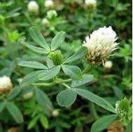 Picture of Berseem clover seed