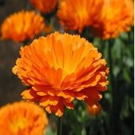 Picture of English marigold seeds