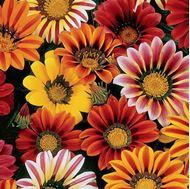 Picture of Gazanias seeds