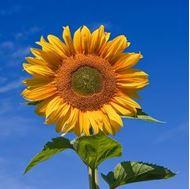 تصاویر بذر آفتابگردان خوراکی