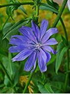 تصاویر بذر کاسنی