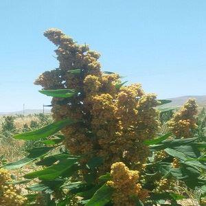 تصاویر بذر کینوا