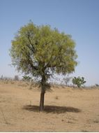 Picture of Iranian mesquite seed