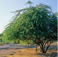 Picture of Pakistan mesquite seed