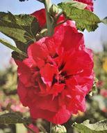 تصاویر بذر گل ختمی پرپر